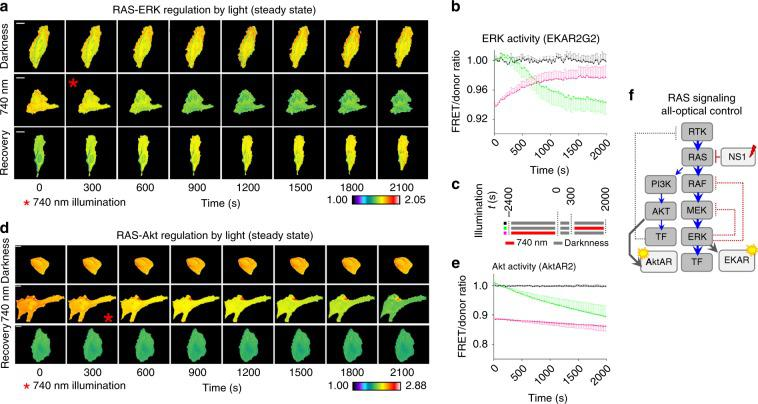All-optical control of endogenous RAS in steady state. a RAS regulation by light in cells expressing EKAR2G2, in serum. Epifluorescence microscopy; scale bar, 20 µm. Pseudocolor scale: black = 1.0 and white = 2.05. b Normalized whole-cell average FRET/donor ratio in HeLa cells expressing the optogenetically enhanced iB(RAS) and EKAR2G2 FRET biosensor. n = 3, error bars represent SEM. Source data are provided as a Source Data file. c Illumination scheme used for the experiments shown in Fig. 9. d RAS-Akt signaling regulation in cells expressing optogenetically controlled iB(RAS). Representative time-lapse panels of <t>AktAR2</t> FRET/donor ratio, imaged in HeLa cells in serum. Epifluorescence microscopy; scale bar, 20 µm. Pseudocolor scale: black = 1.0; white = 2.88. e Normalized whole-cell average FRET/donor ratio as a function of time, in HeLa cells expressing the AktAR2 FRET biosensor. Error bars represent SEM, n = 3 independent experiments. Source data are provided as a Source Data file. b , e Black: control cells without light-activation. Green: cells with 740 nm illumination starting at t = 300 s time point. Magenta: cells were irradiated with 740 nm light for 2400 s prior to imaging. f Schematic representation of all-optical control of RAS signaling using iB(RAS). Signaling nodes are shown in gray, optogenetic tools and biosensors are shown in light gray. Fast negative feedback loops acting via phosphorylation are shown as red dotted lines. Slow feedback loops acting via transcription inhibition are shown in gray.