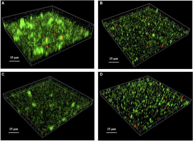 Analysis of S. lugdunensis biofilm by confocal laser scanning microscopy (CLSM). The 24 h mature biofilms of (A) S. lugdunensis WT, (B) Δ lytSR , (C) Δ lytSR (pCU1: lytSR ), and (D) Δ lytSR (pCU1) were visualized after Live/Dead staining under CLSM. Live cells stained with SYTO®9 appear in green, while dead cells stained with propidium iodide are in red. Three-dimensional structural images were reconstructed, and the amount of fluorescence of viable and dead cells was determined using Imaris software. The figures represent one of three independent experiments.