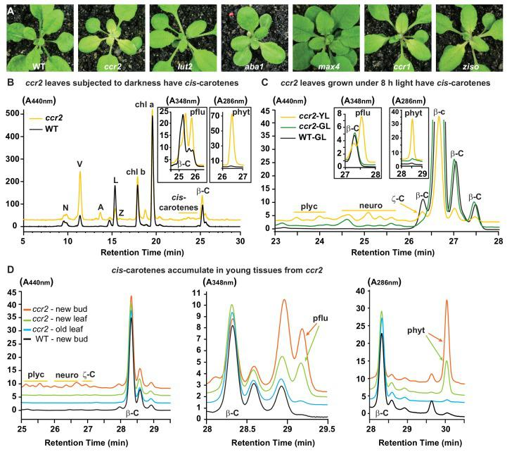 Altered plastid development in ccr2 is linked with cis -carotene accumulation and not to a perturbation in ABA or SL. ( A ) Mutants that perturb the levels of lutein, ABA, SL and accumulate cis -carotenes ( ccr2 , ccr1 and ziso ) were grown for two weeks under a 16 hr photoperiod and then shifted to a shorter 8 hr photoperiod for one week. Representative images showing newly emerged and expanding leaves from multiple experimental and biological repetitions (n > 20 plants per line) are displayed. Genetic alleles tested include Col-0 (WT), ccr2-1 ( carotenoid isomerase ), lut2-1 ( epsilon lycopene cyclase ), aba1-3 (Ler background) ( zeaxanthin epoxidase ), max4/ccd8 (carotenoid cleavage dioxygenase 8), ccr1-1/sdg8 ( set domain group 8 ) and ziso1-3 ( ζ-carotene isomerase ). ( B ) Carotenoid profiles in rosette leaves from three-week-old plants grown under a 16 hr photoperiod and subjected to 6-d of extended darkness. ( C ) Carotenoid profiles in three-week-old rosette leaves from plants grown under a constant 8 hr light photoperiod. Pigments were profiled in a yellow leaf (YL) and green leaf (GL) from WT and ccr2 . ( D ) Carotenoid profiles in newly emerged floral bud and rosette leaf tissues harvested from four-week-old plants growing under a 16 hr photoperiod. Carotenoid profile traces of various tissue extracts from wild type (WT) and ccr2 show pigments at wavelengths close to the absorption maxima of A 440nm (Neoxanthin; N, violaxanthin; V, antheraxanthin; A, lutein; L, zeaxanthin; Z, β-carotene isomers; β-C, chlorophyll a; Chl a, chlorophyll b; chl b, tetra- cis- lycopene; plyc, neurosporene isomers; neuro, and ζ-carotene; ζ-C), A 348nm (phytofluene; pflu) and A 286nm (phytoene; phyt). HPLC profile y-axis units are in milli-absorbance units (mAU). HPLC traces are representative of multiple leaves from multiple experimental repetitions and retention times vary due to using different columns.