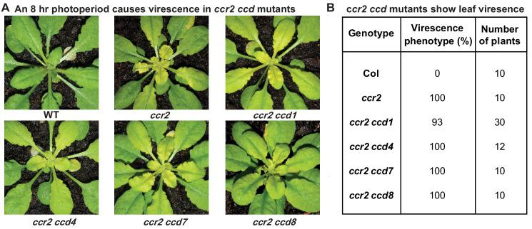 The loss-of-function in individual members of the carotenoid cleavage dioxygenase gene family cannot restore plastid development in ccr2 rosettes. Two-week-old WT, ccr2 , ccr2 ccd1, ccr2 ccd4, ccr2 ccd7, and ccr2 ccd8 (F 3 homozygous double mutant lines) plants were shifted from a 16 hr to 8 hr photoperiod until newly formed leaves in the ccr2 rosette displayed a virescent leaf phenotype. ( A ) Representative images of plants showing newly developed leaves in the rosette. ( B ) Quantification of yellow leaf virescence in individual rosettes from ccr2 ccd double mutants. Data is representative of multiple independent experiments. Statistical analysis by ANOVA with post-hoc Tukey test showed no significant difference in the number of ccr2 and ccr2 ccd plants displaying a virescent phenotype.