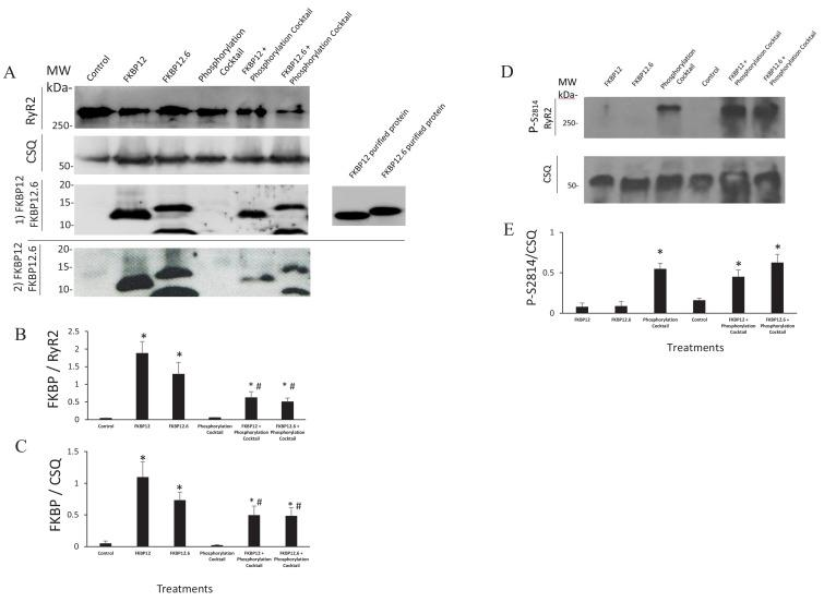 Western Blots. ( A ) Western blots probed with anti FKBP12 (two blots displayed, the bottom blot shows a visible band in control lane) and the proteins selected as loading controls, calsequestrin and RyR. ( B and C ) An average of the western blots demonstrated that FKBP12 and FKBP12.6 purified peptides produced a significant increase in FKBPs association with RyR2 in treated cells. ( D ) Western blots probed with anti p-S2814, a phosphorylation site on RyR2, and the loading control, calsequestrin (CSQ). ( E ) An average of the blots demonstrated that the phosphorylation cocktail produced a significant increase in phosphorylation of S2814. Band densities were measured using ImageJ and were expressed as mean ± SEM. n = 7 blots of 4 hearts in B and C. n = 4 blots of 4 hearts in E. Data were analyzed using student t-test. *p