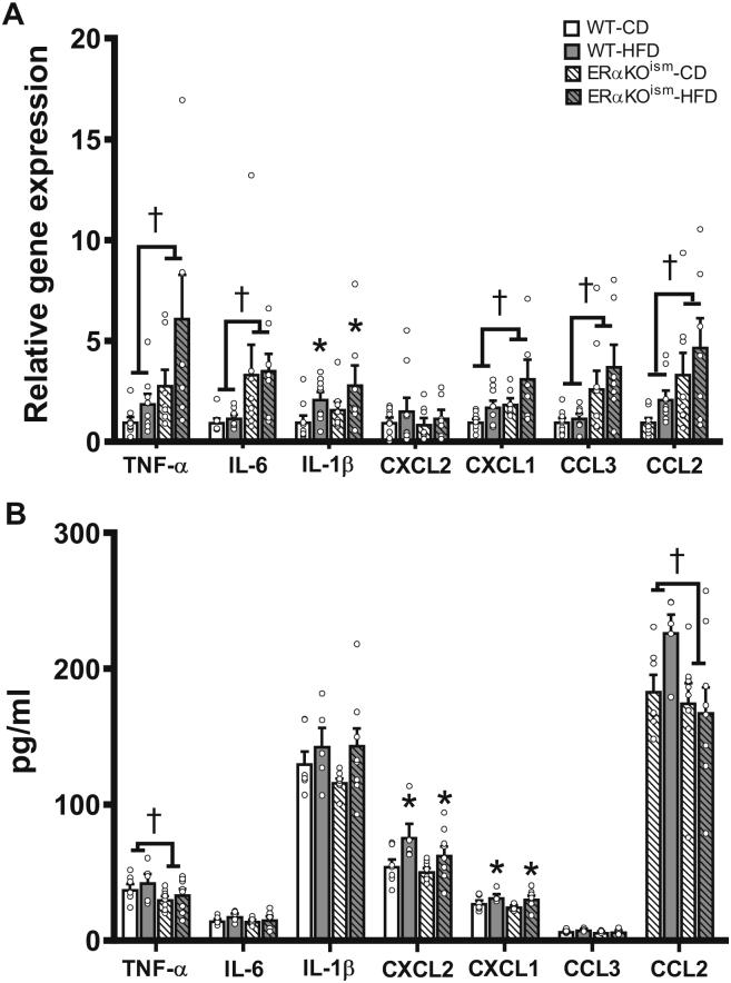 Induced ablation of skeletal muscle ERα in adult female mice alters inflammatory markers in skeletal muscle, but not in systemic circulation . Key inflammatory cytokines and chemokines in  (A)  gastrocnemius (n=7–9/group) and  (B)  blood serum of WT and ERαKO ism  mice after chronic HFD (n=5–9/group). mRNA expression was measured by RT-qPCR and normalized to 18s rRNA. TNF-α=tumor necrosis factor-α; IL-6=interleukin-6; IL-1β=interleukin-1β; CXCL2=chemokine (C-X-C motif) ligand 2; CXCL1=chemokine (C-X-C motif) ligand 1; CCL3=chemokine (C–C motif) ligand 3; chemokine (C–C motif) ligand 2. Data are means±SEM. *Main effect of diet,  p