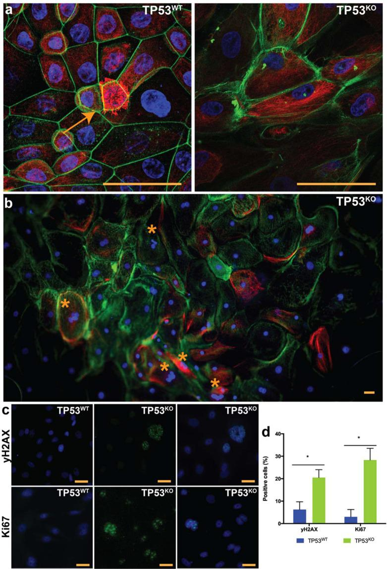 Characterization of the gene-edited oviductal cells. In ( a , b ) cell morphology of control (TP53 WT ) and edited cells (TP53 KO ) showing actin filaments (Phalloidin, green) nuclei (Hoechstt33342, blue) and tubulin (Acetylated tubulin, red); note the presence of ciliated cell (arrow) in TP53 WT ; and the presence of giant multi-nucleated cells (*) in TP53 KO . In ( c ) immunofluorescence for double-strand breaks (yH2AX, green) and cell proliferation (Ki67, green) and nuclei (Hoechst33342, blue); and the percentage of positive cells for those markers ( d ). * indicates that differences are statistically significant (paired sample t-test, p