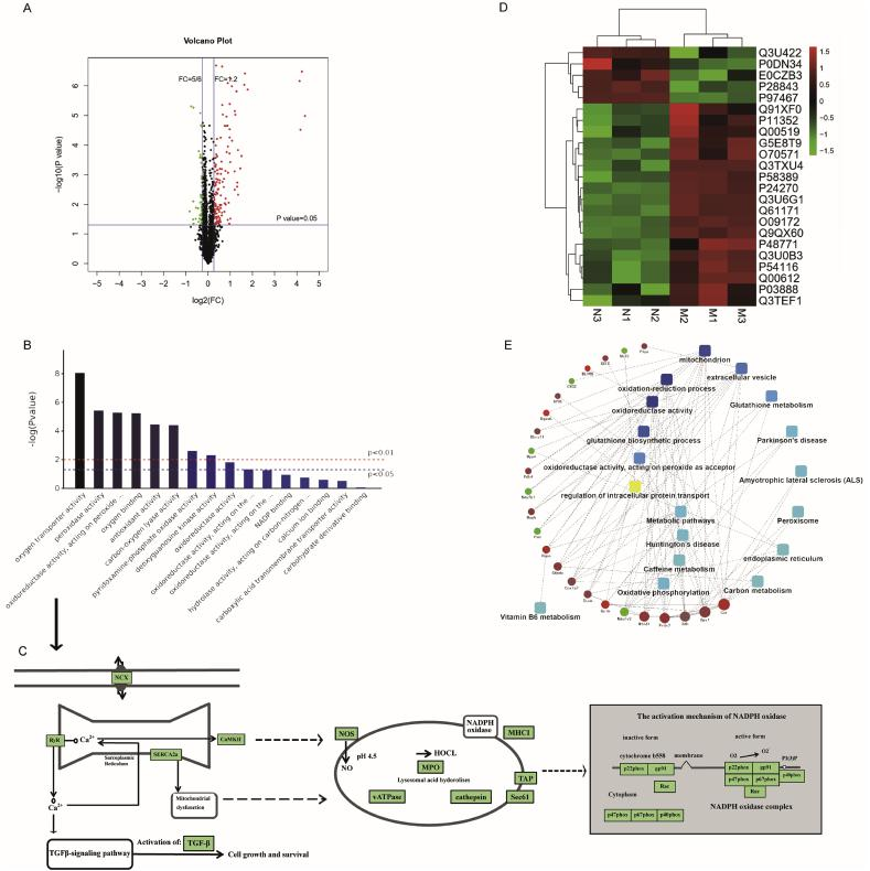 Identification and quantitative analysis of differentially expressed atrial tissue proteins in the control group vs. the ibrutinib group. (A) Differential protein expression was verified using Student's t-test and a volcano plot was constructed. (B) Gene Ontology (GO) annotation and enrichment of differentially expressed proteins. (C) KEGG Pathway analysis. (D) The clustering heat map analysis. (E) Protein-protein interaction (PPI) network showing twenty-three major nodes. n = 3 mice per group. NCX, calcium and sodium exchangers; RyR2, Ryanodine Receptor 2; CaMKII, Ca 2+ /calmodulin-dependent protein kinase II; TGF-β, transforming growth factor-β; NOS, nitric oxide synthase; NADPH oxidase, nicotinamide adenine dinucleotide phosphate oxidase; MPO, myeloperoxidase; HOCL, hypochlorous; MHCI, MHC class I molecule.