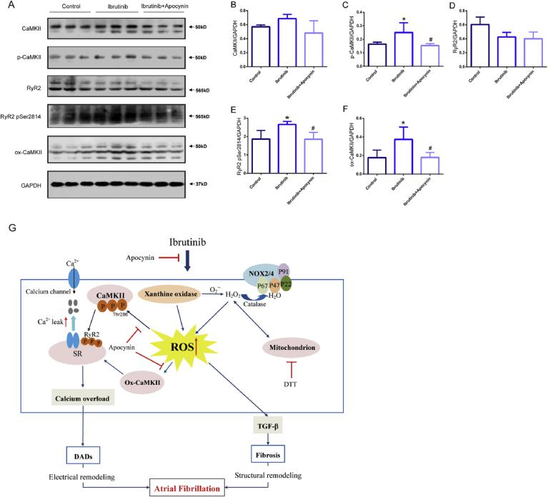 Reactive oxygen species (ROS) activates oxidized Ca 2+ /calmodulin-dependent protein kinase II (ox-CaMKII) increasing serine 2814 on RyR2, and the inhibitory effect of apocynin. (A–F) Representative western blots and quantification of anti-calmodulin-dependent protein kinases II (CaMKII), anti-CaMKⅡ (phospho T286, p -CaMKII), oxidized CaMKII, Ryanodine Receptor 2 (RyR2), RyR2-Ser2814 expression in the atrial tissues of mice in the control group, ibrutinib group, and apocynin group with GAPDH as a loading control (n = 3 mice per group, one way ANOVA). Values are presented as mean ± SD. * P