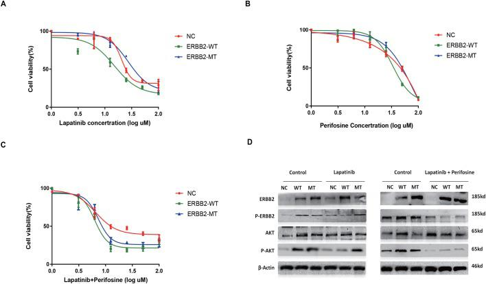 Mutant ERBB2 confers a resistance to lapatinib and is related to AKT signaling pathway. (A) Overexpression of ERBB2-MT enhances the lapatinib resistance (at 12.5 and 25 μM in comparison with ERBB-WT, both P
