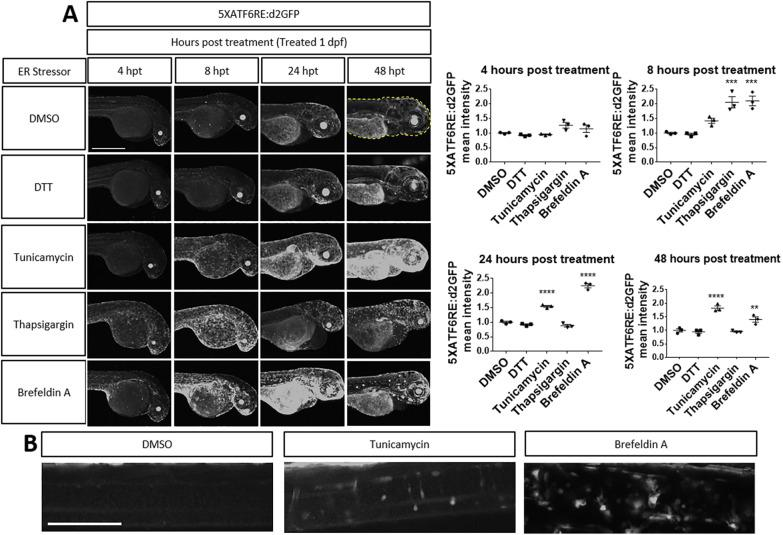 Chemical ER stressors activate reporter expression. (A) Zebrafish embryos were treated with ER stressors at 1 dpf. Quantification (dashed line) revealed that 5XATF6RE :d2GFP expression was significantly higher at 8 hpt with thapsigargin ( P =0.0004) and brefeldin A ( P =0.0003) treatment, at 24 hpt with tunicamycin ( P =0.0001) and brefeldin A ( P =0.0001) treatment, and at 48 hpt with tunicamycin ( P =0.0001) and brefeldin A ( P =0.0065) treatment. ** P ≤0.01; *** P ≤0.001; **** P ≤0.0001; unpaired one-way ANOVA with Dunnett's post-hoc test with respect to DMSO control group. All error bars are s.e.m. (B) Representative images showing increased 5XATF6RE :d2GFP expression in the spinal cord of embryos (at 48 hpt) treated with tunicamycin or brefeldin A compared to the DMSO-treated control. Scale bars: 1 mm (A); 0.1 mm (B).