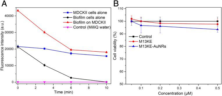 Treatment of P. aeruginosa biofilm grown on MDCKII cells using M13-g3p(Pf1)–AuNRs and biocompatibility of phage–AuNRs with MDCKII cells. ( A ) PrestoBlue cell viability assay results for M13-g3p(Pf1)–AuNR treatment and irradiation of MDCKII cells grown alone (blue), M13-g3p(Pf1)–AuNR treatment and irradiation of P. aeruginosa biofilm grown on MDCKII cells (red), and M13-g3p(Pf1)–AuNR treatment and irradiation of P. aeruginosa biofilm alone (grown without MDCKII cells; black), over time during irradiation. The control (magenta) is MilliQ water alone. In this assay, the PrestoBlue reagent is modified by the reducing environment of live cells and becomes fluorescent; both MDCKII and P. aeruginosa cells contribute to PrestoBlue fluorescence. MDCKII cells (blue) are largely viable upon M13-g3p(Pf1)–AuNR treatment and irradiation, while P. aeruginosa cells (black) are killed by M13-g3p(Pf1)–AuNR treatment and irradiation over the time course shown. As expected, the PrestoBlue fluorescence of the biofilm grown on MDCKII cells during M13-g3p(Pf1)–AuNR treatment and irradiation (red) is roughly equal to the sum of the fluorescence of MDCKII cells treated and irradiated alone (blue) plus the fluorescence of biofilm cells treated and irradiated alone (black). After 6 min of treatment and irradiation, the fluorescence of the biofilm grown on MDCKII cells (red) appears to be similar to that of MDCKII cells alone (treated and irradiated; blue), consistent with selective killing of P. aeruginosa . ( B ) Biocompatibility of phage–AuNRs was measured by PrestoBlue cell viability assay. M13KE–AuNRs or M13KE phages at different concentrations were incubated with MDCKII cells for 48 h without irradiation. The control is MDCKII cells alone (without M13KE–AuNRs or M13KE). Cell viability percentages were calculated by normalizing fluorescence intensity by the control fluorescence. The concentration of the bioconjugates and phages are given in units of micromolar concentration (1 μM ∼ 6 × 10 14 phage particles per mL). Error bars represent 1 SD calculated from triplicates.