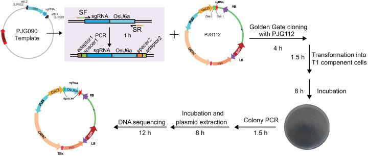 Workflow for constructing expression clone containing two target-sgRNA expression cassettes with Golden Gate clone. Primers containing adaptors for Golden Gate cloning (OJH307 and OJH308) were used in the amplification with PJG090 as the template. The reagents were recommended as following: one ul of PCR product, 50 ng of PJG112, one ul of Cutsmart Buffer (NEB), 0.4 ul of T4 ligase buffer (NEB), 5 U of Bsa I (NEB), 20 U of T4 DNA ligase (NEB) and add ddH 2 O to 10 ul. The reaction was incubated for 20–25 cycles (37 °C 2 min, 20 °C 5 min), followed by incubation at 50 °C and 80 °C for 5 min, respectively. Subsequently, one ul of the product was introduced into Trans T1 competent cells. Positive clones were identified by clone PCR and sequenced.