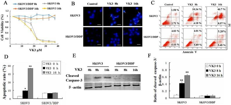 VK3 promoted the apoptosis of SKOV3 ovarian cancer cells. (A) SKOV3 and SKOV3/DDP cells were treated with VK3 for 8 and 16 h. The MTT assay was used to examine the cell viability. Data are presented as mean ± SD, n = 3. (B) Both cells were treated with 15 µM VK3 and stained with Hoechst 33342. Cell morphology was observed by fluorescence microscopy. Arrows indicate apoptotic cells. Scale bar = 20 µm. (C) Cells were stained with Annexin V-FITC/PI, and the ratio of apoptosis was detected using a FACScan flow cytometer. Data are presented as mean ± SD, n = 3. (D) Apoptotic rate in (C) was quantified in both cells. Data are presented as mean ± SD, n = 3. * P