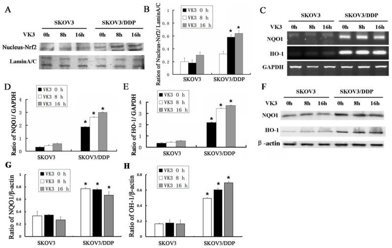 VK3 activates the Nrf2 pathway in SKOV3/DDP cells. (A) Both cells were treated as before. Nucleus extracts were subjected to immunoblot analysis with anti-Nrf2 and anti-LaminA/C. (B) Quantitation of nucleus Nrf2 protein level in (A). Data are presented as mean ± SD, n = 3. * P