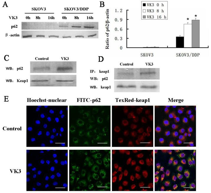 The interaction between p62 and Keap1 increased with VK3 treatment in SKOV3/DDP cells. (A) Both cells were treated with 15 µM VK3 for 8 or 16 h. Cell lysates were subjected to immunoblot analysis with anti-p62. (B) The expression of p62 in (A) was quantified. Data are presented as mean ± SD, n = 3. * P