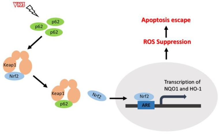Schematic representation of the p62- Keap1- <t>Nrf2</t> pathway in ovarian cancer cells with the treatment of VK3. Our study provides evidence that p62 promotes Nrf2 signaling through interacting with Keap1, which blocks VK3-induced apoptosis by inhibiting ROS production in SKOV3/DDP cells.