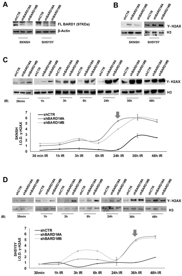 FL BARD1 functions in DNA damage response. SKNSH and SHSY5Y cell lines were silenced for FL BARD 1 expression upon transfection with lentiviral plasmids (shBARD1#A, shBARD1#B). Unsilenced control cells were transfected with plasmid shCTR. The efficiency of short harpin silencing was verified by western blotting, using an antibody against FL BARD1 isoform. The molecular weight of FL BARD1 isoform is reported. The higher band in the blot is an aspecific staining. β-Actin levels were used as loading control (A). The detection of Υ -H2AX protein was verified in nuclear extract of silenced (shBARD1) and unsilenced control (shCTR) cells, by western blotting. Antibody against histone H3 was used as loading control (B). SKNSH shBARD1 and shCTR cells (C) and SHSY5Y shBARD1 and shCTR cells (D) were treated with 5 Gy IR. The expression of Υ- H2AX was measured by western blotting in a time-course (30 min, 1h, 3h, 6h, 12h, 24h, 36h, 48h) after IR. The integral optical density (IOD) of Υ- H2AX protein bands were measured and normalized respect to loading control protein band H3. The arrows indicate the higher increment of Υ- H2AX in each cell line. The experiments were repeated twice.