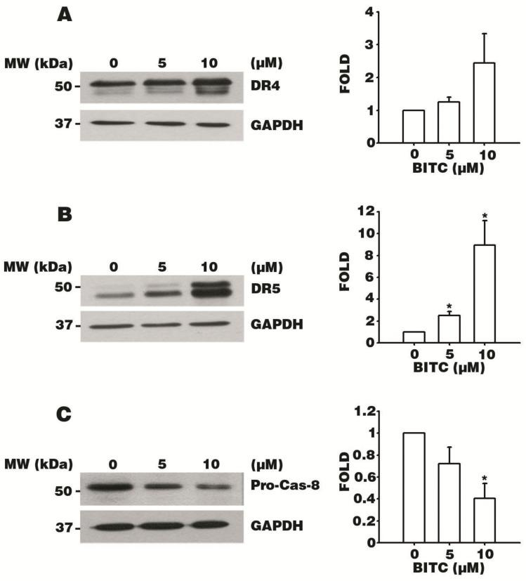 BITC induces apoptosis via the death receptor DR4/DR5-mediated pathway. AGS cells were treated with 0.1% DMSO and 5 or 10 μM BITC for 24 h, and protein lysates were extracted. The protein levels of DR4 ( A ), DR5 ( B ), and proactive Caspase-8 (Pro-Cas-8) ( C ) were analyzed by western blotting. Glyceraldehyde 3-phosphate dehydrogenase (GAPDH) was used as the loading control. Densitometer data are expressed as the mean fold change ± SEM of three independent experiments. Statistical analyses were performed by comparing the results to those of the control group. * p value