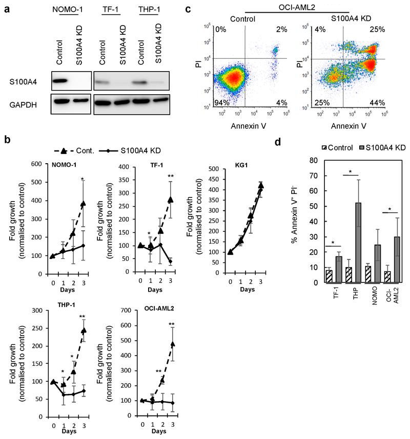 S100A4 is required for cell survival in leukemia cell lines. (a) Example western blot showing S100A4 expression in leukemia cells with S100A4 knocked down (KD; TRCN0000416498) compared to control (targeting non-mammalian gene) using shRNA. (b) Summary data showing growth of leukemia lines with S100A4 KD (TRCN0000416498) compared to control over 3 days of growth following infection (n=3; except KG1 (n=2). (c and d) Apoptosis was evaluated by flow cytometric analysis of APC-conjugated Annexin V binding, while simultaneously assessing membrane integrity by PI exclusion. (c) Example flow cytometric plots of S100A4 KD compared to control using OCI-AML2. Annexin V - and PI - negative (lower - left quadrant), annexin V + and PI - (lower - right quadrant) and both annexin V and PI positive (upper - right quadrant) cells were considered as the viable, early-phase apoptotic, late-phase apoptotic/necrotic cells, respectively. (d) Summary data showing the effect of S100A4 KD on Annexin V staining in leukemia cell lines following 48 hours post infection. Data indicates mean ± 1SD (n=3). Statistical significance is denoted by * P
