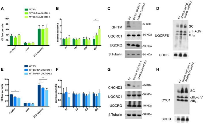 Knock‐down of either GHITM or CHCHD3 does not produce cIII2 functional nor assembly defects (related to Fig 4 ) Oxygen consumption rates measured in WT cells transduced with lentiviral vectors encoding two different shRNAs specific for GHITM mRNA (shRNA GHITM 1 and shRNA GHITM 2) and with pLKO.1 without any shRNA insert (empty vector, EV). Respiration was measured in whole cells in the basal state (Routine), in the presence of oligomycin (Leak) and uncoupled with CCCP (ETS capacity), using a O2K high‐resolution respirometer (Oroboros instruments). The plotted values are the mean ± SD ( n = 4 for WT EV and WT shRNA GHITM 1 and n = 3 for WT shRNA GHITM 2). MRC enzyme activities normalized to the activity of citrate synthase (CS) measured in the same cell lines shown in (A). The plotted values are the mean ± SD ( n = 2 biological replicates). Two‐way ANOVA Tukey's multiple comparisons test * P = 0.0462 (CIV). SDS–PAGE, Western blot, and immunodetection analysis with the indicated specific antibodies. 1D BNGE, Western blot, and immunodetection analysis of digitonin‐solubilized samples from the same three cell lines shown in (A). Oxygen consumption rates measured in 143B WT cells transduced with lentiviral vectors encoding two different shRNAs specific for CHCHD3 mRNA (shRNA CHCHD3 1 and shRNA CHCHD3 2) and with pLKO.1 without any shRNA insert (empty vector, EV). Respiration was measured in whole cells in the basal state (Routine), in the presence of oligomycin (Leak) and uncoupled with CCCP (ETS capacity), using a O2K high‐resolution respirometer (Oroboros instruments). The plotted values are the mean ± SD ( n = 4). Two‐way ANOVA Tukey's multiple comparisons test * P = 0.0126 (Routine shRNA 2); * P = 0.0386 (ETS capacity shRNA 1); *** P = 0.0002 (ETS capacity shRNA 2). MRC enzyme activities normalized to the activity of citrate synthase (CS) measured in the same cell lines shown in (E). The plotted values are the mean ± SD ( n = 4 biological replicates). SDS–PAGE, Weste