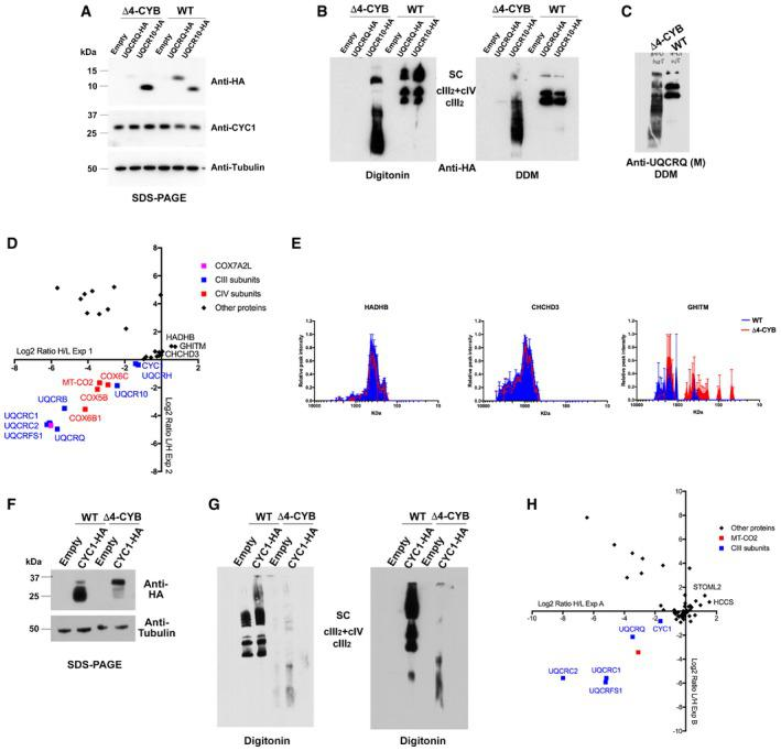 Proteomic analyses of UQCR10 and CYC1‐containing protein associations in Δ4‐CYB cells. See also Fig EV3 SDS–PAGE, Western blot, and immunodetection, with the indicated specific antibodies, of Δ4‐CYB and WT cells expressing HA‐tagged versions of UQCRQ and UQCR10 and of cells transduced with the lentiviral expression vector without any cDNA insert (Empty). BNGE, Western blot, and immunodetection, with an anti‐HA tag antibody, of samples from the same cell lines as in (A) solubilized either with digitonin or DDM. BNGE, Western blot, and immunodetection, with the monoclonal (M) anti‐UQCRQ antibody (Abcam ab110255), of non‐transduced Δ4‐CYB and WT cells. The mitoplast samples were solubilized with DDM (See also Fig EV1). Scatter plot generated from the analysis of the logarithmic heavy (H)‐to‐light (L) ratios in the x ‐axis and the reverse in the y ‐axis, in the two reciprocal labeling SILAC experiments (1 and 2) and anti‐HA immunopurification of Δ4‐CYB and WT cells expressing UQCR10 HA . Complexome profiles, generated as in Fig 3 , for the proteins found specifically enriched in Δ4‐CYB UQCR10 HA , according to the SILAC immunopurification experiments shown in (D). The represented values are the mean ± SEM of the two reciprocal labeling experiments. SDS–PAGE, Western blot, and immunodetection, with the indicated specific antibodies, of Δ4‐CYB and WT cells expressing an HA‐tagged version of CYC1 and of cells transduced with the lentiviral expression vector without any cDNA insert (Empty). BNGE, Western blot, and immunodetection, with an anti‐HA tag antibody, of samples from the same cell lines as in (F) solubilized either with digitonin. Scatter plot generated from the analysis of the logarithmic heavy (H)‐to‐light (L) ratios in the x ‐axis and the reverse in the y ‐axis, in the two reciprocal labeling SILAC experiments (A and B) of anti‐HA immunopurification of Δ4‐CYB and WT cells expressing CYC1 HA . Source data are available online for this figure.