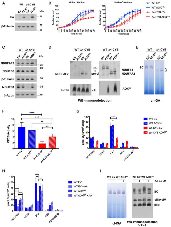 Alternative oxidase (AOX) expression and function in WT and Δ4‐CYB cells SDS–PAGE, Western blot, and immunodetection of AOX HA expression in whole‐cell lysates from WT and Δ4‐CYB cells transduced with the AOX HA /pWPXLd‐ires‐Hygro R lentiviral vector. The transduction and selection controls were the same cell lines transfected with an empty pWPXLd‐ires‐Hygro R vector (EV). Growth curves of the AOX HA expressing cell lines and their corresponding EV controls. Cell growth was monitored every 6 h after substituting the medium in two replicate 24‐well plates, one plate with medium without uridine (Uridine − ), and the second plate with medium supplemented with 50 μg/ml uridine (Uridine + ). The graphs show the average confluence ± SD at each time point ( n = 6 wells per cell line). Immunodetection of cI structural subunits and NDUFAF2 in the same samples as in panel (A). 1D BNGE, Western blot, and immunodetection analyses of digitonin‐solubilized mitochondria from WT and Δ4‐CYB cybrids expressing AOX HA and their corresponding EV controls. Complex I in‐gel activity assays (IGA) after BNGE as in panel (D). The gels were incubated in the IGA reaction mixture for 5 h. The asterisk indicates the presence of a high‐molecular‐weight cI‐containing band of unknown nature (see main text). Spectrophotometric kinetic measurements of cI activity in WT and Δ4‐CYB AOX HA and EV samples normalized by the percentage of citrate synthase (CS) activity. Results are expressed as mean ± SD ( n = 5 biological replicates). Two‐way ANOVA with Tukey's multiple comparisons test ** P = 0.0077 (WT AOX HA versus Δ4‐CYB AOX HA ); ** P = 0.0044 (Δ4‐CYB EV versus Δ4‐CYB AOX HA ); *** P = 0.0003; **** P