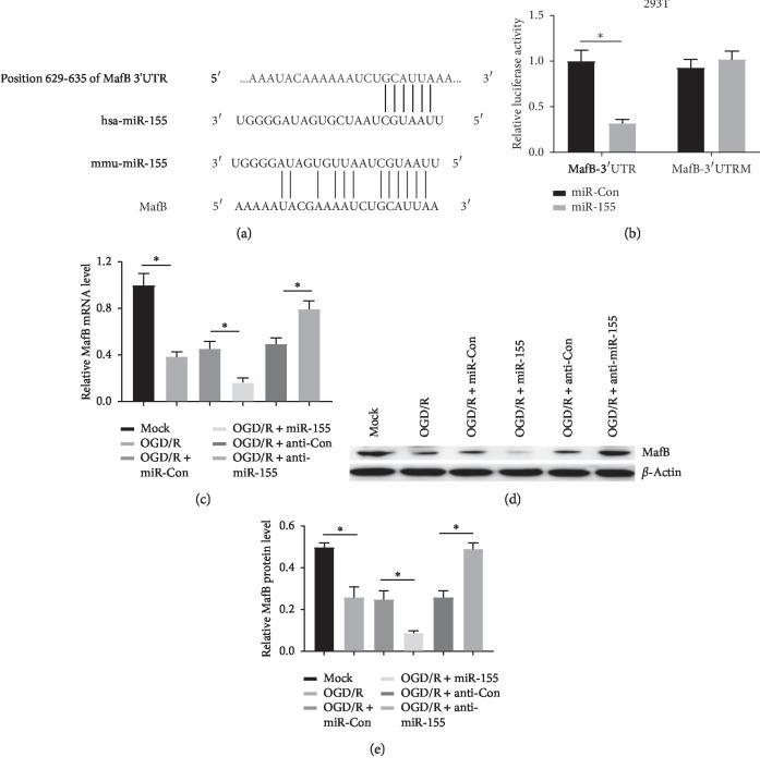 miR-155 directly targeted on MafB. (a) The target site of miR-155 and MafB 3′UTR was measured based on TargetScan and microRNA.org. (b) Investigation of the regulatory effect of miR-155 on MafB expression using <t>dual-luciferase</t> <t>reporter</t> <t>assay</t> in 293T cells. (c) and (d and e) The expression of MafB in OGD/R-induced SH-SY5Y cells transfected with miR-155 or anti-miR-155 was measured through qRT-PCR and western blot analyses respectively ∗ P