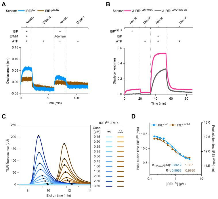 The ∆∆ deletion does not affect the stability of the IRE1 LD dimer. ( A ) Bio-Layer Interferometry (BLI)-derived association (assoc.) and dissociation (dissoc.) traces of streptavidin sensors loaded with the indicated biotinylated ligands [wild-type (wt) or IRE1 LD ∆∆ ] and exposed sequentially to the indicated solutions of analyte. 2 µM BiP, 6.8 µM full-length ERdj4, or isolated J-domain and 2 mM ATP. A representative experiment of three independent repetitions is shown (processed as in Figure 5A ). ( B ) As in Figure 5A but comparing the monomeric J-IRE1 LD P108A and the disulphide-linked J-IRE1 LD Q105C SS proteins as ligands on the sensor. A representative experiment of three independent repetitions is shown. ( C ) Size-exclusion chromatography (SEC) elution profiles of TAMRA (TMR)-labelled wt and IRE1 LD ΔΔ proteins at the indicated concentrations. TMR fluorescence is plotted against elution time [note: fluorescent labelling was used to detect a signal at the low protein concentration (conc.) required to generate a pool of monomeric IRE1 LD ] (see: Figure 5—source data 2 ) ( D ) Plot of peak elution time points derived from 'C' against the protein concentration on a logarithmic scale for IRE1 LD and IRE1 LD ΔΔ . Curve fitting was performed in Prism GraphPad 7.0 using a sigmoidal function and calculated K 1/2 max values are displayed underneath the curves. Source data for Figure 5—figure supplement 1B. Source data for Figure 5—figure supplement 1C.