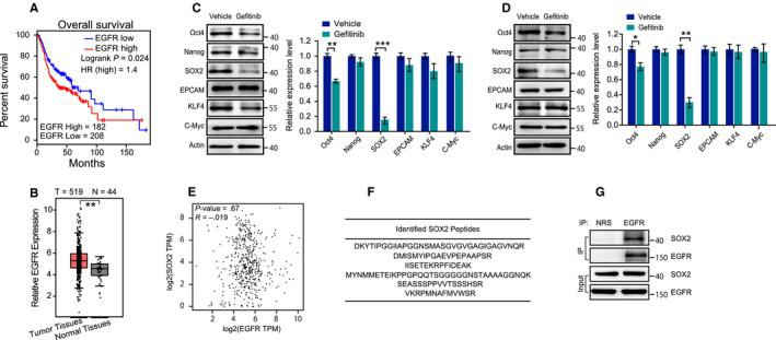 SOX2 is an interaction partner of EGFR, and its expression level is under the control of EGFR signaling. A, The association of EGFR mRNA with overall survival of HNSCC was verified in the Gene Expression Profiling Interactive Analysis (GEPIA) database. B, The mRNA expression of EGFR in human HNSCC tissues and adjacent normal tissues was analyzed using the GEPIA platform. C, CAL‐27 cells were treated with gefitinib (10 μmol/L) for 24 h; cell extracts were then prepared, and the indicated proteins were evaluated with immunoblotting. D, SCC‐15 cells were treated with gefitinib (10 μmol/L) for 24 h; cell extracts were then prepared, and the indicated proteins were evaluated with immunoblotting. E, The association between the mRNA expression of EGFR and SOX2 was verified in the GEPIA database. F, Whole cell lysates from CAL‐27 cells were immunoprecipitated with an anti‐EGFR antibody and resolved by SDS‐PAGE followed by Coomassie blue staining. The bands were extracted from the gel, and six unique peptides from SOX2 were identified by LC‐MS/MS analysis. G, Anti‐EGFR coprecipitates from CAL‐27 cells were analyzed with an anti‐SOX2 antibody to verify the interaction between EGFR and SOX2. Data are shown as representative immunoblots from three independent assays. * P