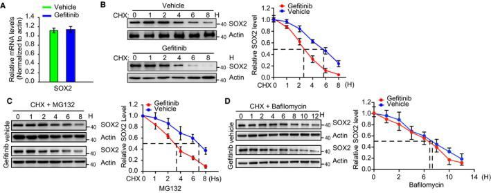 Inhibition of EGFR decreases SOX2 stability. A, CAL‐27 cells were treated with gefitinib (10 μmol/L) for 24 h. Total RNA was extracted, and the mRNA encoding SOX2 and β‐actin was detected by qPCR using specific primers. Data are presented as the mean ± SEM of three independent assays in triplicate. B, Quantitative analyses of SOX2 protein stability in gefitinib‐treated CAL‐27 cells in the presence of the protein synthesis inhibitor cycloheximide (CHX) (10 μg/mL) for the indicated times are shown (n = 3). Actin was used as a loading control for western blotting. C, Quantitative analyses of SOX2 degradation in the presence of CHX (10 μg/mL) and MG132 are shown (n = 3). D, Quantitative analyses of SOX2 degradation in the presence of CHX (10 μg/mL) and bafilomycin are shown (n = 3). Actin was used as a loading control for western blotting. Statistical significance between two groups was determined by Student's t test
