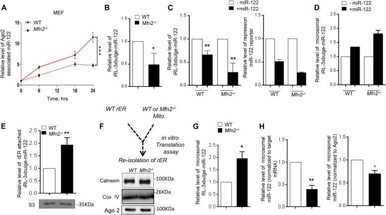Increased target RNA trafficking to rER in Mfn2 negative cells. (A) Decreased association of newely formed miR-122 with Ago2 on mitochondria-defective cells. qRT-PCR data showing Ago2-associated de novo formed miR-122 level decrease over time on Mfn2 −/− cells compared with WT cells was plotted. (B) Decreased de novo–formed target mRNA in Mfn 2−/− MEF cells. qRT-PCR data show reduced target mRNA levels in the presence of its cognate miRNA on Mfn2 −/− cells. (C) The relative amount of the reporter target mRNAs in the absence and presence of miR-122 has been shown in both cell types. All cells were co-transfected with Tet-ON expression plasmid and inducible Renilla-3xbulge-miR-122 reporter plasmid and FF reporter plasmid. In the right panel, relative fold repression of the miR-122 reporter has been studied in the presence and absence of miR-122 expression in wild-type and mitochondria-defective cells. (D, E) Higher microsomal association of target mRNA in Mfn2 −/− MEF cells. Microsomal sequestration of target mRNA in the presence and absence of its cognate miRNA has been plotted (D). The relative level of microsome/rER-associated target mRNA between normal and Mfn2-negative cells expressing pmiR-122 has also been shown (E). Western blot data of ribosomal protein S3 show equal amounts of microsome associated ribosomes were used for estimation of associated mRNAs. (F) Schematic representation of in vitro translation assay showing reisolation of rER used for the assay performed in the presence and absence of wild-type and mutant cell derived mitochondria. Calnexin, Ago2, and COX IV Western blots confirmed equivalent amount of microsome along with mitochondria after reisolation. (G) Relative estimation of RNA from reisolated microsome after incubation in the presence of mitochondria obtained from wild-type and Mfn2 −/− cells. Increased target mRNA sequestration in the presence of cognate miRNA in assays performed with detethered mitochondria was observed. (H) Measurement 