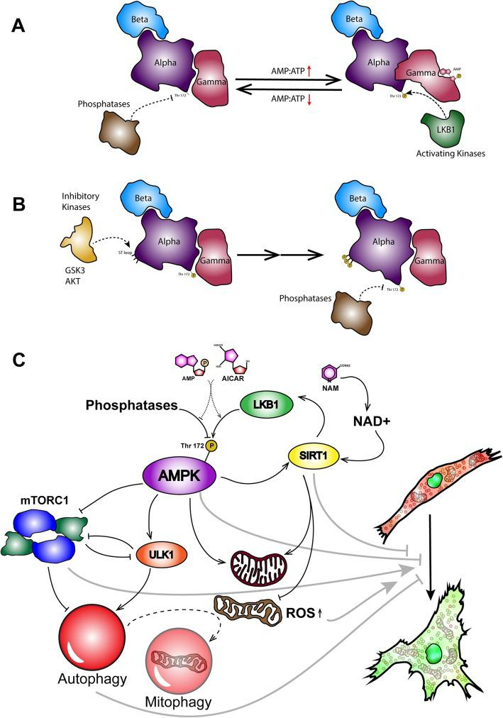 The schematic mechanism of action of AICAR and NAM. a AMP binds to the gamma subunit of AMPK, allosterically increases the exposure of T172 to the activating upstream kinases like LKB1 and CaMKK-beta, and hinders the access of upstream phosphatases like PP2A to this residue. b AMPK may undergo a series of phosphorylations by inhibitory upstream kinases like GSK3, AKT, and ERK; GSK3 phosphorylates the ST loop of the alpha subunit and primes the subsequent phosphorylations for others. Later on, the alpha subunit changes its conformation, and the T172 gets exposed to the inhibitory phosphatases. c Acting like AMP, AICAR increases T172 phosphorylation of the alpha subunit by facilitating the phosphorylation and hindering the dephosphorylation. Following that, AMPK activates autophagy in general. Additionally, AMPK increases the biogenesis of new mitochondria and the degradation of dysfunctional and damaged ones. Moreover, NAM increases SIRT1 activity. In turn, SIRT1 increases the LKB1 activity and indirectly increases the AMPK activity. Furthermore, it increases the functionality of mitochondria and decreases ROS production by damaged mitochondria. These sequence of events prevents the MSCs to age and to show senescence-associated changes like dysfunctional autophagosome accumulation, and enlarged and flattened morphology