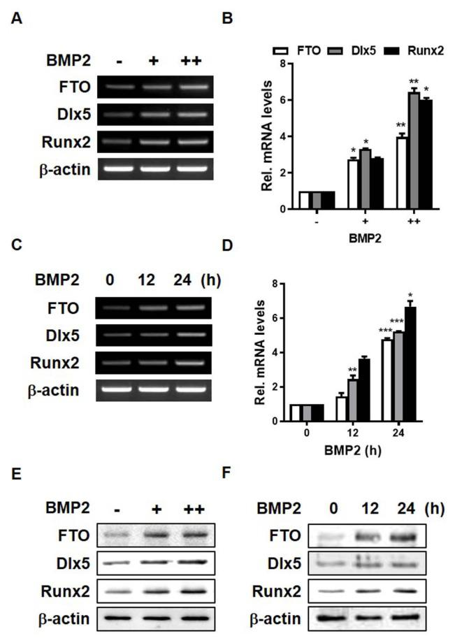 BMP2 treatment induces FTO expression in C3H10T1/2 cells (A and B) RT-PCR and real-time PCR analyses were performed using total RNA isolated from C3H10T1/2 cells treated with BMP2 (+, 0.125 μg/ml; ++, 0.25 μg/ml) for 1 day. (C and D) RT-PCR and real-time PCR analyses were performed using total RNA isolated from C3H10T1/2 cells treated with 0.25 μg/ml BMP2 for 12 or 24 h. (E and F) C3H10T1/2 cells were treated with BMP2 for the indicated durations and harvested for western blot analysis using the indicated antibodies. * P
