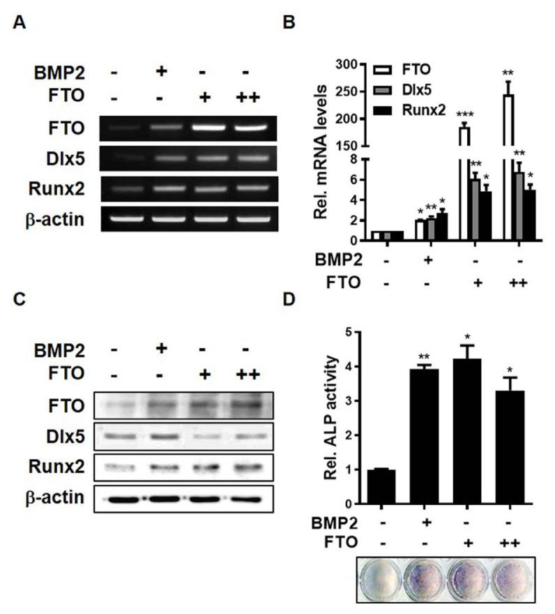 Overexpression of FTO induces osteogenic differentiation of C3H10T1/2 cells (A–C) C3H10T1/2 cells were transfected with pcDNA3.1 (2 μg) or pCMV-FTO (+, 1 μg; ++, 2 μg) for 6 h and treated with BMP2 (0.25 μg/ml) for 1 day. (A) RT-PCR analysis was performed using total RNA isolated from cells and primers targeting FTO, Dlx5, Runx2, and β-actin. (B) Real-time PCR was performed using total RNA isolated from cells. (C) Western blot analysis was performed using the indicated antibodies. (D) C3H10T1/2 cells were transfected with pCMV-FTO (+, 0.2 μg; ++, 0.4 μg) or treated with BMP2 (0.25 μg/ml) for 4 days. * P