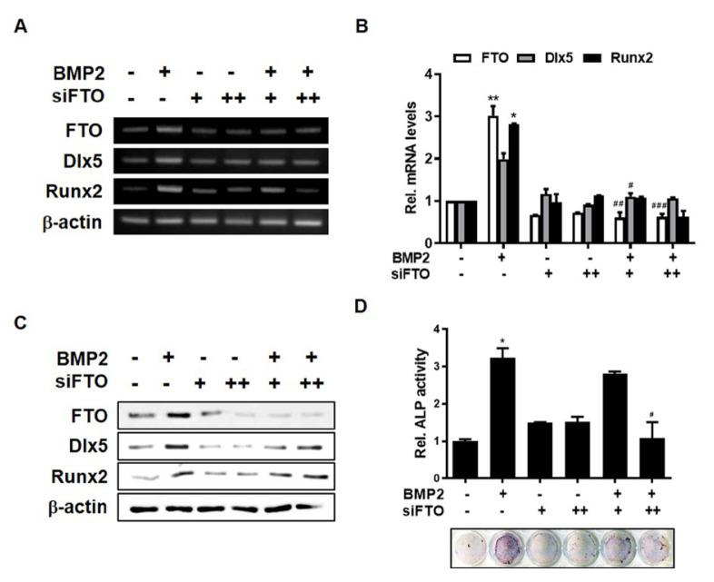 Knock-down of FTO attenuates BMP2-induced osteogenic differentiation of C3H10T1/2 cells C3H10T1/2 cells were transfected with siFTO (+, 100 nM; ++, 200 nM) for 6 h and then treated with BMP2 (0.25 μg/ml) for 1 day. (A) RT-PCR analysis was performed using total RNA isolated from cells. (B) The real-time PCR analysis was performed using total RNA isolated from cells. (C) Western blot analysis was performed using the indicated antibodies. (D) C3H10T1/2 cells were transfected with siFTO for 6 h and then treated with BMP2 (0.25 μg/ml) for 4 days. ALP staining was performed. All experiments were independently repeated at least three times. Data represent the mean ± SEM of three individual experiments. * P