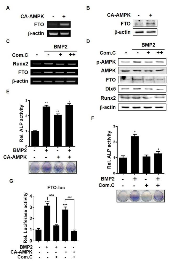 Activation of AMPK enhances FTO expression in C3H10T1/2 cells (A and B) C3H10T1/2 cells were transfected with pcDNA3.0-AMPK (2 μg) for 6 h and then incubated for a further 12 h. (A) RT-PCR analysis was performed using total RNA extracted from cells. (B) Western blot analysis was performed using the indicated antibodies. (C and D) C3H10T1/2 cells were treated with BMP2 (0.25 μg/ml) for 24 h. Com.C (+, 0.1 μM; ++, 1 μM) was added 3 h prior to harvest. (C) RT-PCR analysis was performed using total RNA extracted from cells. (D) Western blot analysis was performed using the indicated antibodies. (E) C3H10T1/2 cells were transiently transfected with pc-DNA3.0AMPK (0.4 μg/well) and/or treated with BMP2 (0.25 μg/ml) for 4 days, and then stained with BCIP/NBT liquid substrate. ** P
