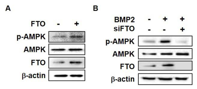 FTO induces phosphorylation of AMPK in C3H10T1/2 cells (A) C3H10T1/2 cells were transfected with pCMV-FTO (2 μg) for 6 h and then incubated for a further 12 h. Western blot assay analysis was performed using the indicated antibodies. (B) C3H10T1/2 cells were transfected with siFTO for 6 h and then treated with BMP2 (0.25 μg/ml) for 12 h. Western blot analysis was performed using the indicated antibodies. All experiments were independently repeated at least three times.