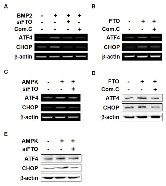 FTO and p-AMPK induce mild ER stress (A) C3H10T1/2 cells were transfected with siFTO for 6 h and then treated with BMP2 (0.25 μg/ml) and Com.C (1 μM) for 1 day. RT-PCR was performed using total RNA isolated from cells. (B and D) C3H10T1/2 cells were transfected with pCMV-FTO (2 μg) for 6 h and then treated with Com.C (1 μM) for 24 h. (C and E) C3H10T1/2 cells were transfected with pc-DNA3.0-AMPK (2 μg) and siFTO for 6 h and then incubated for a further 12 h. RT-PCR (B and C) and western blot (D and E) analyses of ER stress markers (ATF4 and CHOP) were performed. All experiments were independently repeated at least three times.