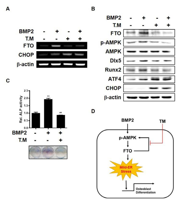 Severe ER stress induced by TM abrogates BMP2-induced upregulation of FTO and p-AMPK (A) C3H10T1/2 cells were treated with BMP2 (0.25 μg/ml) and/or TM (100 ng/ml) for 24 h. RT-PCR was performed using total RNA isolated from cells. (B) C3H10T1/2 cells were treated with BMP2 (0.25 μg/ml) and/or TM (100 ng/ml) for 12 h. Western blotting was performed with the indicated antibodies. (C) C3H10T1/2 cells were treated with BMP2 (0.25 μg/ml) and/or TM (100 ng/ml) for 4 days. ALP staining was performed. ** P