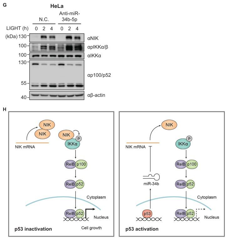 p53-induced miR-34b negatively regulates the non-canonical NF-κB pathway by targeting the CDS of NIK (A) Heat map for upregulated miRNAs in Z138 treated with 10 μM nutlin-3a for 6 h identified via small RNA sequencing. Total RNA isolated from Z138 cells using the mirVana miRNA isolation kit was used for preparation of small RNA libraries, followed by small RNA sequencing. Genes showing fold change ≥ 1.5 and P