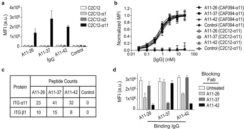 Characterization of full-length <t>anti-integrin-α11/β1</t> immunoglobulins . (a) Binding of anti-integrin-α11/β1 IgGs and a negative control <t>IgG</t> (x-axis) to C2C12 cells engineered to express the indicated integrins, assessed by flow cytometry fluorescence (y-axis). Data are shown for single-point measurements, and error bars indicate SD of two independent experiments. (b) Dose response curves for anti-integrin-α11/β1 IgGs and a negative control IgG (x-axis) binding to CAF094-α11/β1 or C2C12-α11/β1 cells, assessed by flow cytometry fluorescence (y-axis). Mean fluorescence intensity signals were normalized to the highest concentration value for each sample, and error bars indicate SD of two independent experiments. (c) Peptide counts for IP-MS analysis of CAF094-α11/β1 cell lysates immunoprecipitated with anti-integrin-α11/β1 IgGs or a negative control IgG. (d) Blocking of anti-integrin-α11/β1 IgGs (x-axis) binding to CAF094-α11/β1 cells by indicated Fabs, assessed by flow cytometry fluorescence (y-axis). Data are shown for single-point measurements, and error bars indicate SD of two independent experiments.