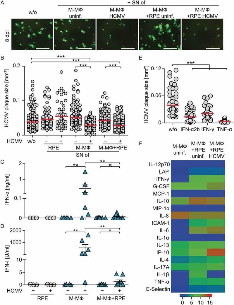 Supernatants from co-cultures of M-CSF MΦ and HCMV-infected RPE cells inhibit viral spread. Cell-free supernatants from uninfected or HCMV-infected RPE (MOI 12) or M-CSF-MΦ (MOI 3) mono-cultures and RPE/M-CSF-MΦ co-cultures were harvested 2 dpi and transferred onto fresh RPE cells infected with HCMV-GFP at MOI 0.1. (a) 8 dpi virus plaque formation was analyzed by fluorescence microscopy (scale bar = 1 mm) and (b) the size of individual plaques was determined. Cell-free supernatants prepared as described above were analyzed for (c) secreted IFN-α and (d) IFN-I activity using an ELISA method or an Mx2-Luc reporter cell line, respectively. (e) RPE cells were infected with HCMV-GFP at MOI 0.1 and incubated with recombinant (rec.) IFN-α2b, IFN-γ, or TNF-α for 8 d. Then the plaque size was analyzed. (f) Cell-free supernatants prepared as described above were analyzed for different secreted proteins using a bead-based <t>cytokine</t> array. Data visualize log (2) values of the measured cytokine concentrations in [pg/ml]. Mean size of (b) 67–371 plaques using 6 different donors or (e) 49–100 plaques from 3 independent experiments. Mean ±SEM of (c/d) 6 different donors from 3 independent experiments or data of (f) 3 different donors from 2 independent experiments. SN = supernatant, uninf. = uninfected, *: p ≤ 0.05, **: p ≤ 0.01, ***: p ≤ 0.001 (one-tailed Mann-Whitney test).