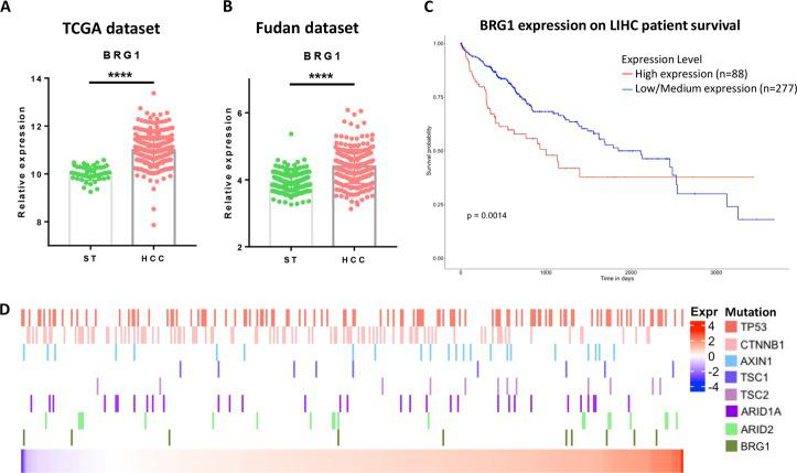 BRG1 expression, mutation, and survival analysis in human data sets. a Scatter-bar plot of BRG1 mRNA expression in TCGA LIHC data set. b Scatter-bar plot of BRG1 mRNA expression in Fudan data set. c Kaplan–Meier survival plot from UALCAN using TCGA LIHC data set. d Heatmap of BRG1 mRNA expression in TCGA LIHC data set with multiple mutation status of well-known oncogenes in HCC. ST surrounding tissue, HCC hepatocellular carcinoma; **** p