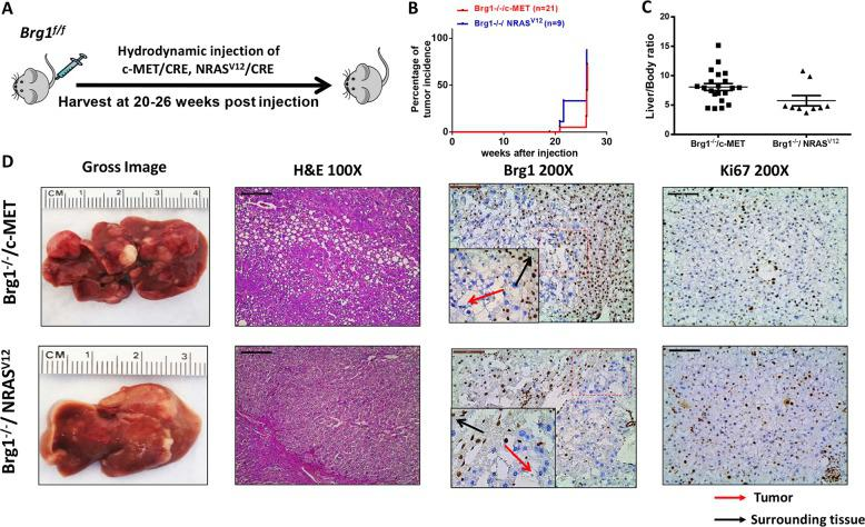 Brg1 deletion cooperates with c-MET and NRAS V12 to induce liver tumor formation in mice. a Study design. b Survival analysis of Brg1 f/f mice injected CRE plasmid and c-MET (Brg1 −/− /c-MET) or NRAS V12 (Brg1 −/− / NRAS V12 ). c Liver body weight ratio of Brg1 −/− /c-MET ( n = 21) and Brg1 −/− / NRAS V12 mice ( n = 9). d Gross image, H E staining, Brg1, and Ki67 staining of Brg1 −/− /c-MET and Brg1 −/− / NRAS V12 mice.
