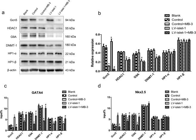 During MSC differentiation into cardiomyocytes induced by Islet-1, the effects of Gcn5 inhibition on other key enzymes were assessed. ( a ) Western blot was used to detect the expression of the enzymes involved in regulating GATA4/Nkx2.5 after Gcn5 was inhibited by MB-3. The enzymes assessed were Gcn5, HDAC1, G9A, DNMT-1 and HP1. Images were cropped for clarity, and full-length blots/gels are presented in Supplementary Fig. 4 . ( b ) Quantitative analysis of these enzymes. MB-3 inhibited Gcn5 expression in both the Control + MB-3 and LV-islet-1 + MB-3 groups but had no effect on the other enzymes. ( c , d ) ChIP-qPCR results of the binding levels of these enzymes in the GATA4/Nkx2.5 promoters after Gcn5 was inhibited by MB-3 during MSC differentiation. After islet-1 transfection and Gcn5 inhibition, the binding level of the other enzymes in the GATA4/Nkx2.5 promoters did not change compared with those in the blank, control and control + MB-3 promoters. *p