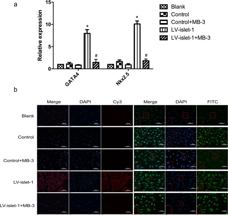 The effect of Gcn5 inhibition on MSC differentiation into cardiomyocytes induced by islet-1. ( a ) FQ-PCR detected the expression levels of GATA4 and Nkx2.5 after Gcn5 was inhibited. GATA4 and Nkx2.5 expression increased after islet-1 transfection, but in the LV-islet-1 + MB-3 group, their expression did not change compared with that in the blank and control groups. *p
