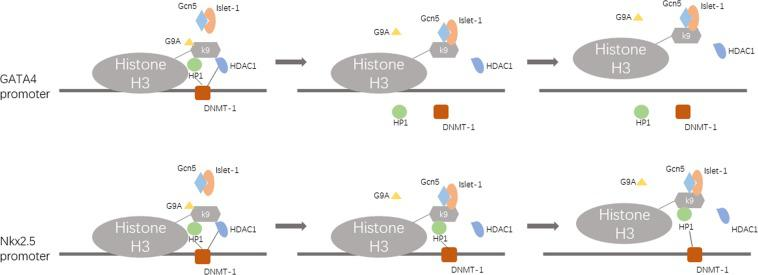 The epigenetic modification model of MSC differentiation into cardiomyocytes induced by islet-1. Islet-1 guides Gcn5 binding to the GATA4 and Nkx2.5 promoters, and Gcn5 interacts with G9A, HP1, DNMT-1 and HDAC1. Then, the chromatin of the GATA4 and Nkx2.5 promoter region loosened because of the hyperacetylation of these regions, which is conducive to GATA4 and Nkx2.5 expression.