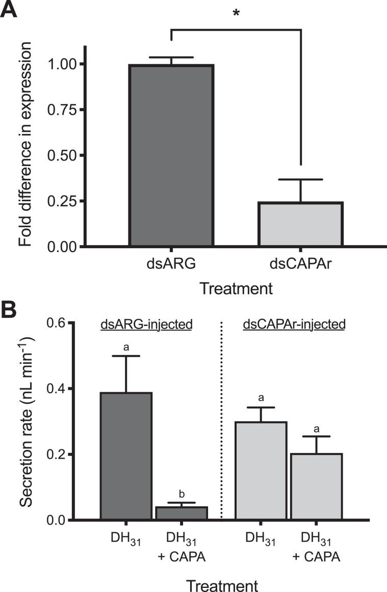 RNA interference (RNAi) of CAPAr abolishes anti-diuretic activity of CAPA neuropeptide on adult female A. aegypti MTs. ( A ) Verification of significant knockdown ( > 75%) of CAPAr transcript in MTs of four-day old adult female A. aegypti by RNAi achieved through injection of dsCAPAr on day one post-eclosion. ( B ) Functional consequences of CAPAr knockdown demonstrating loss of anti-diuretic hormone activity by Aedae CAPA-1 against Drome DH 31 -stimulated fluid secretion by MTs. In ( A ), knockdown of CAPAr transcript was analyzed by one-tailed t-test (* denotes significant knockdown, p