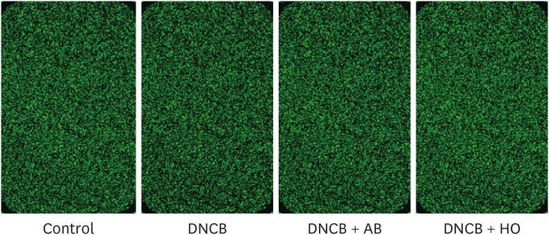 Scanned image of cDNA <t>microarray</t> chips. After labeling of cRNA, samples from the control-, DNCB-, DNCB + AB-, and DNCB + horse oil-treated mice were hybridized onto mouse <t>oligo</t> microarray slides, which were then scanned and analyzed. DNCB, 2, 4-dinitrochlorobenzene; AB, Atobarrier lotion.