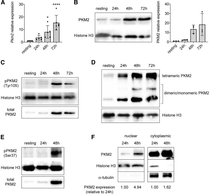 CD3/CD28 Activation Induces PKM2 Expression and Nuclear Accumulation in Murine CD4 + CD62L + T Cells Murine CD4 + CD62 + T cells were stimulated in vitro for 3 days with CD3/CD28 antibodies and collected at different time points of activation. (A) Quantification of Pkm2 mRNA in resting versus activated murine CD4 + CD62L + T cells by qRT-PCR (n = 5–6 from 4 independent experiments). ∗ p