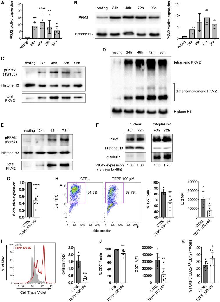 TCR Stimulation Induces PKM2 Upregulation and Nuclear Translocation in Human T Cells, and TEPP-46 Limits Their Activation Human naive CD4 + T cells were stimulated in vitro for 4 days with CD3/CD28 antibodies and collected at different time points of activation. (A) Quantification of PKM2 mRNA in resting versus activated human CD4 + T cells by qRT-PCR (n = 5–6 from three independent experiments). (B) Left, western blot showing upregulation of PKM2 protein in human CD4 + cells following activation. Right, quantification of PKM2 expression by densitometry analysis (n = 3 from 2 independent experiments). (C) Western blots showing time-dependent increase in PKM2 phosphorylation on Tyr105 in activated human T cells. One representative experiment out of two is shown. (D) Cells were collected at different time points of activation, crosslinked with DSS, and analyzed for PKM2 expression by western blot. A representative blot showing the upregulation of monomeric/dimeric and tetrameric PKM2 in activated human CD4 + T cells is presented. (E) Western blots showing time-dependent increase in PKM2 phosphorylation on Ser37 in activated human CD4 + T cells. (F) Cells were collected at different time points of activation. Nuclear and cytoplasmic fractions were isolated by cell fractionation and analyzed for PKM2 expression by western blot. A representative blot showing accumulation of PKM2 in the nucleus of activated human CD4 + T cells is presented. For (D–F), one representative experiment out of three is shown. (G–K) Human naïve CD4 + T cells were stimulated in vitro for 48 h (G and H) or 4 days (I–K) with CD3/CD28 antibodies, in the presence of DMSO (CTRL condition) or TEPP-46 100 μM. (G) Quantification of IL2 mRNA in activated human cells by qRT-PCR (n = 9 from five independent experiments). (H) IL-2 production evaluated by flow cytometry after intracellular cytokine staining. Left, representative plot showing reduced IL-2 production by TEPP-46 treated cells. Right, quantificat