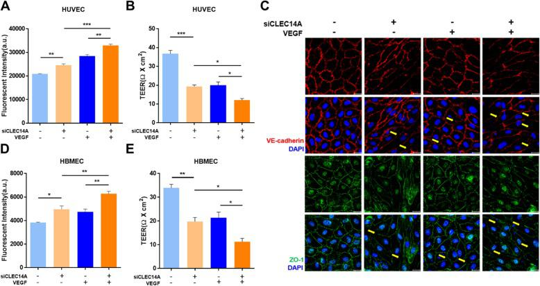 CLEC14A knockdown decreased junctional integrity in ECs. a , d HUVEC and HBMEC monolayer permeability to FITC-dextran increased after knockdown of CLEC14A using siRNA(50 nM) and treatment with VEGF (50 ng/ml, 30 min). Absorbance of the solution in the lower chamber was measured after FITC-dextran was added to the transwell. b , e TEER was reduced by VEGF stimulation under the same conditions of the permeability assay before FITC-dextran was added. The TEER was measured using a Millicell ERS-2 (Millipore). c Immunofluorescence staining of VE-cadherin, ZO-1, and DAPI in untreated or VEGF-treated (50 ng/ml, 30 min) HUVECs after knockdown of CLEC14A. Each arrow indicates an attenuated junction. Scale bars: 20 μm. * P