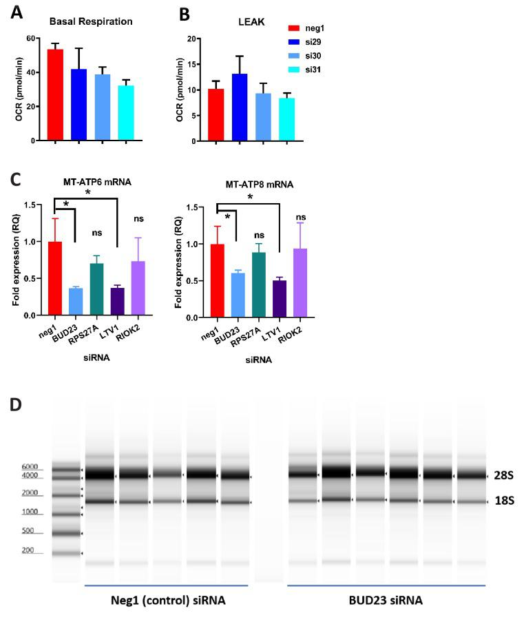 Further analysis of ribosomal deficiency in A549 cells. ( A and B ) Further analysis of the data in Figure 2C : Basal respiration was determined from average OCR measurements of A549 cells in an unstimulated state. LEAK respiration was determined by subtracting the average OCR after addition of OA from the average OCR after addition of AA+R. ( C ) qPCR analysis of mitochondrial gene expression (MT-ATP6 and MT-ATP8) in A549 cells treated with control siRNA (neg1) or siRNA specifically targeting BUD23, RPS27A, LTV1 or RIOK2. ( D ) Example RNA screentape gel showing 28S and 18S bands for A549 cells treated with either control siRNA or BUD23 specific siRNA.
